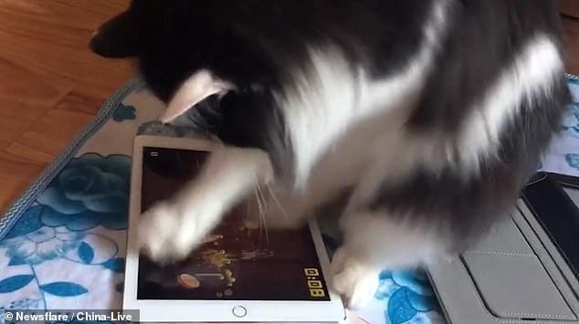 Умная кошка лихорадочно ловит кого-то на экране планшета - и получает более высокий балл, чем ее владелец