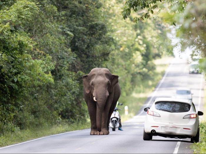 Слон убил водителя, когда машина зацепила его ногу в Таиланде