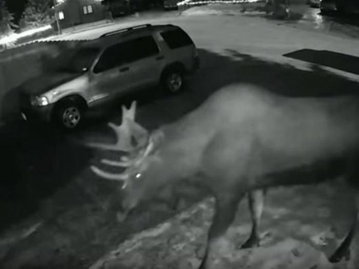 Лось на Аляске своим звонком в дверь разбудил хозяев