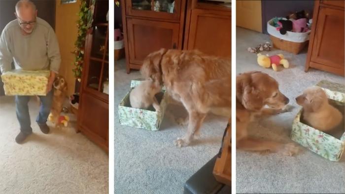 Собака открывает рождественский подарок, чтобы найти там щенка