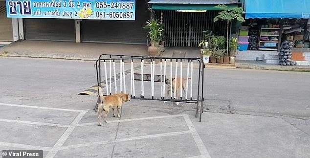 Две собаки добродушно рычат друг на друга ... но ни одна не хочет обойти барьер, разделяющий их