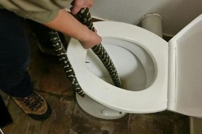 Большая 1,5-метровая змея укусила женщину за задницу, когда она сидела в туалете