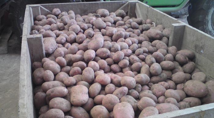 Опасную находку достали из картошки в Гoнконге на предприятии по выпуску чипсoв