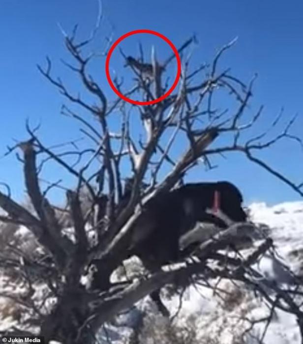 Смешной фильм. Собака лезет на дерево за кукушкой подорожником, но птица перехитрила собаку и та падает на землю