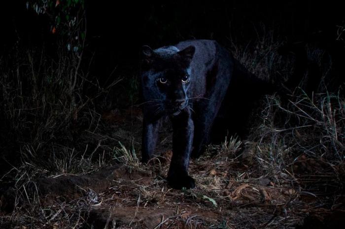 Очень редкий черный леопард впервые попал на фото в Африке