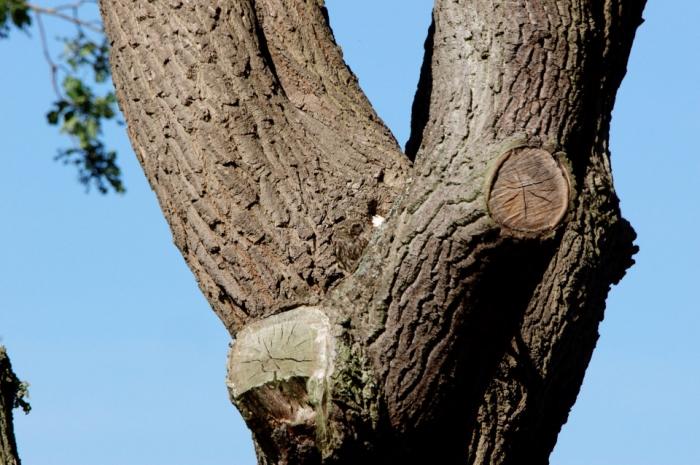 Маленькая сова почти полностью невидима, поскольку она спряталась на дереве на фото