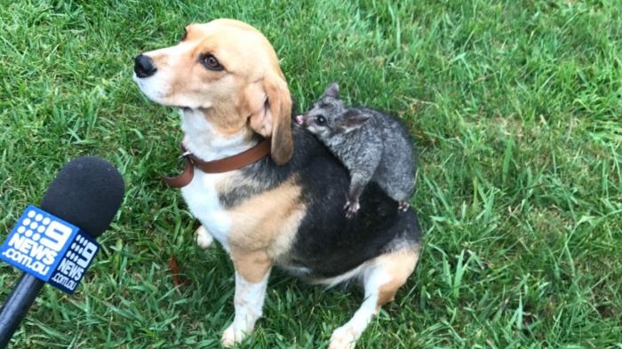 Собака породы бигль принимает маленького опоссума, а он такой миленький
