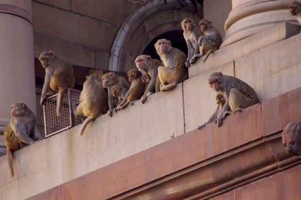 Буйные обезьяны прошли через деревню оставив после себя двух погибших