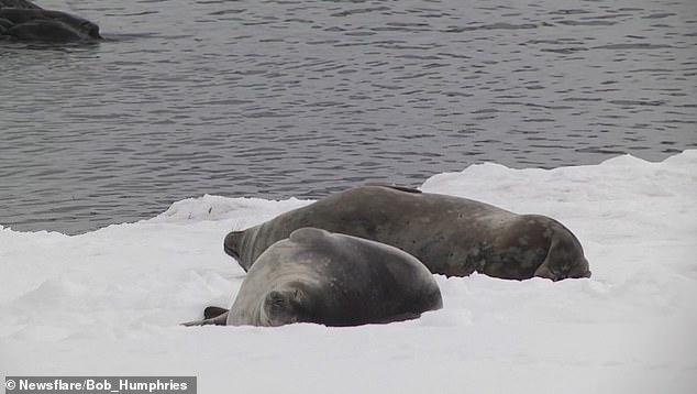 Тюлень попал на фото, когда он чешет свой хвост на льду в Антарктиде