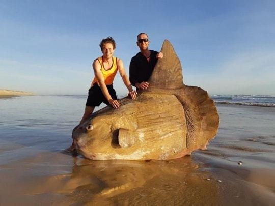 Гигантская рыба, которая может «весить больше, чем машина» была выброшена на пляж