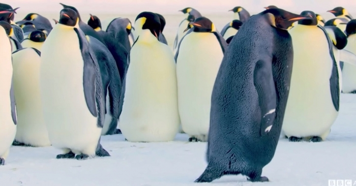 «Самого редкого пингвина на земле» сняли на фильм в Антарктике