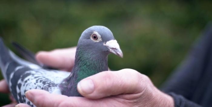 Армандо, Льюис Гамильтон гоночных голубей, продается за £ 1 миллион на аукционе анонимному любителю