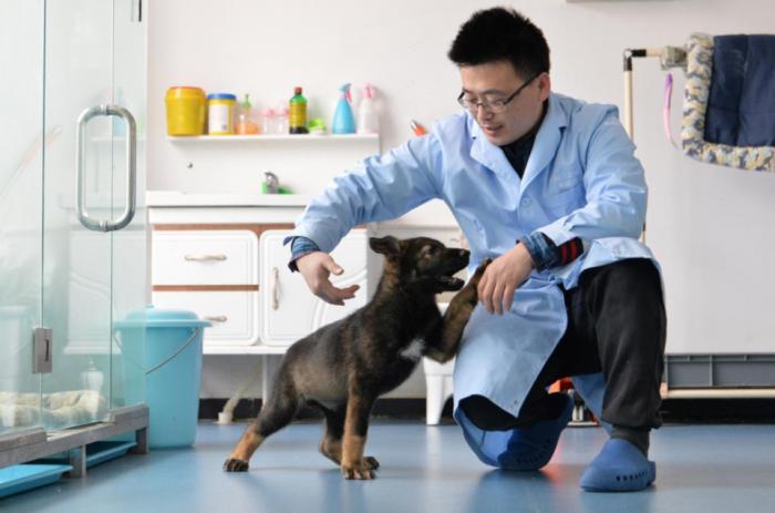 Китай клонировал свою лучшую полицейскую собаку и хочет массово выпускать заслуженных полицейских собак