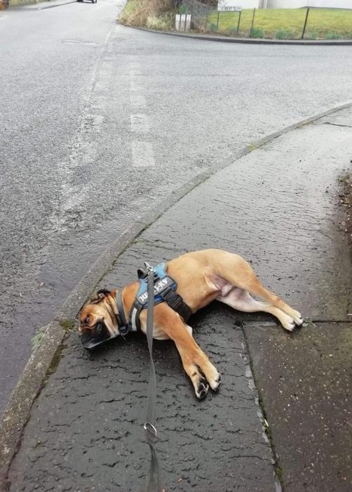 Собака «притворилась мертвой», когда поняла, что ее отправляют на короткую прогулку