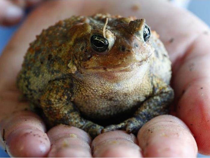 Ядовитые жабы наводнили пригороды Флориды