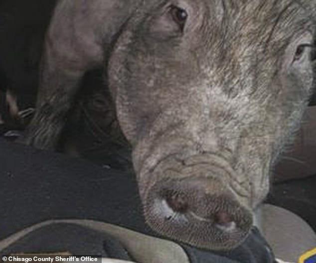 Офицер останавливает лихача-автомобилиста и обнаруживает, что у него на коленях две свиньи