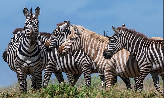 Фотограф впервые запечатлел потрясающее фото редкой зебры блондинки в дикой природе