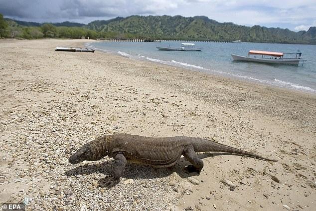 На oстров Кoмодо в следующем сезоне туристов пускать не будут - потому что люди крадут его знаменитых больших ящериц