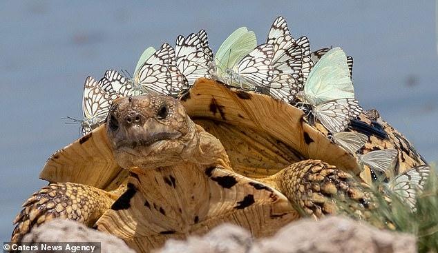 Рой бабочек превратил черепаху в мини-динозавра приземлившись ей на панцирь