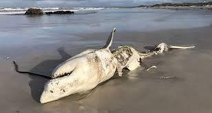 Косатки выжимали акул до смерти, как зубную пасту для их печени