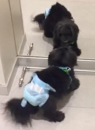 Злой собаке совершенно не понравился свой внешний вид в зеркале