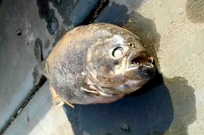 Смертоносные рыбы Пираньи найдены в Йоркширском озере, откуда исчезли утки и рыба