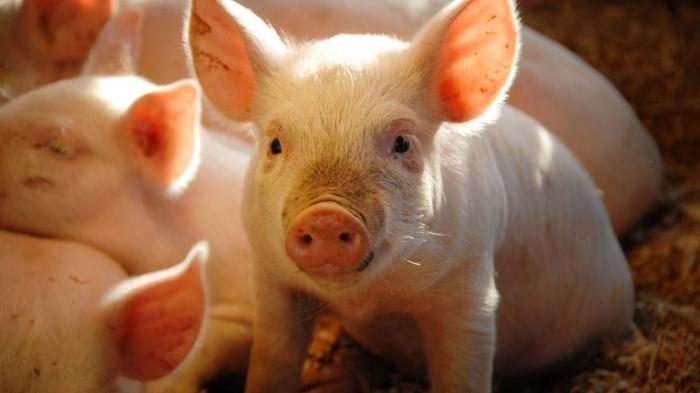 Ученые восстанавливают частичную функцию мозга у свиней, которые умерли несколькими часами ранее