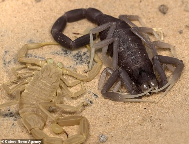 Леденящий фильм показывает, как ядовитый скорпион, вылазит из своего экзоскелета