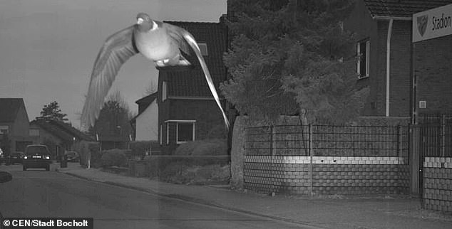 Голубь, летающий со скоростью 45 км в час, включает дорожную камеру в Германии