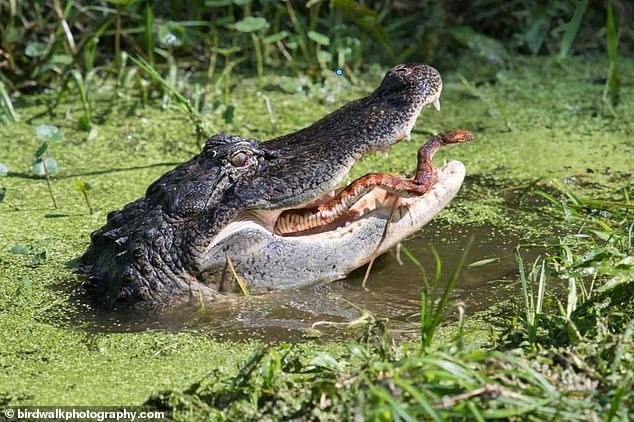 Фотографы засняли момент, когда змея пытается сбежать из челюстей аллигатора в заповеднике дикой природы Флориды