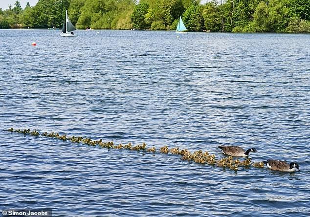 Гордые родители канадских гусей вывели купаться более 50 птенцов в лучах весеннего солнца