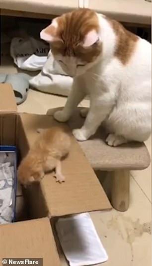Кошка-мать подталкивает своего котенка в коробку, сильно ударяя его лапой, после того, как она слишком долго собирается прыгать