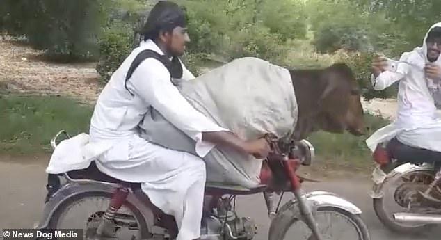 Байкера сняли на его мотоцикле с коровой, сидящей перед ним на дороге в Пакистане