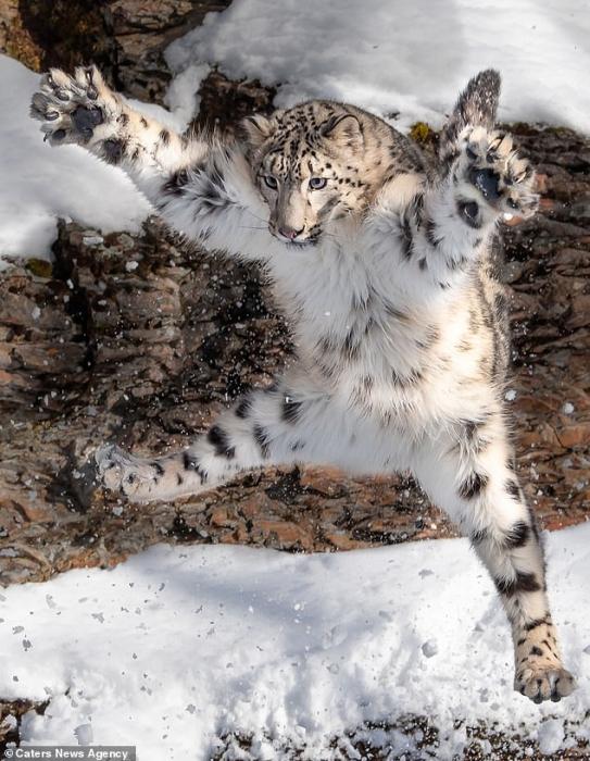 Снежный барс прыгает в воздух с вытянутыми лапами в комичной позе прыжка звезды в Монтане