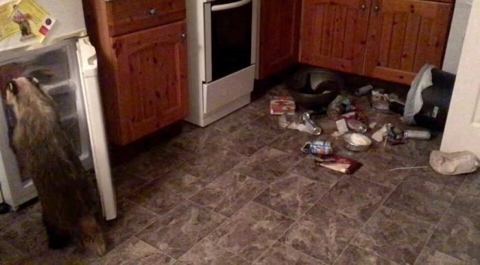 Голодный барсук попал на камеру видеонаблюдения, ворвавшись в дом и украв еду из морозилки