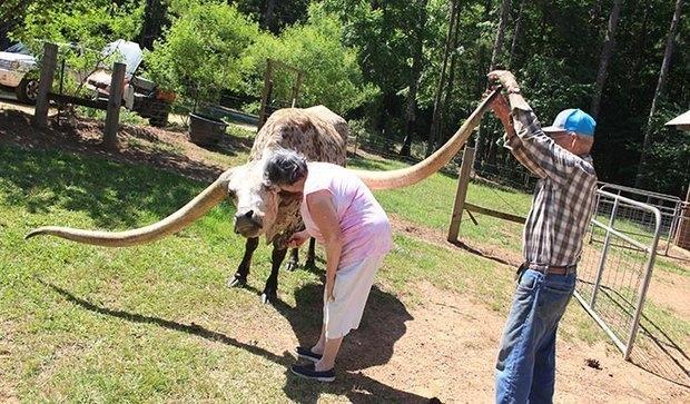 Бык побил мировой рекорд Гиннеса самыми длинными в мире рогами – размахом 3 метра