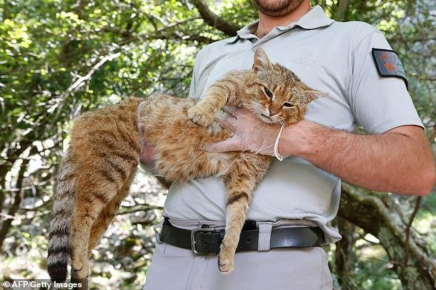 Корсиканский «кот-лис» с большими зубами, густым хвостом и шелковистой шерстью будет назван новым видом, хотя раньше его считали мифом