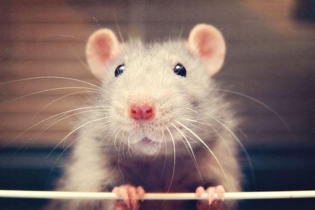 34-летняя женщина умерла от «укуса крысы»