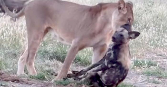 Дикую собаку представили на Оскар за роль мертвой собаки, чтобы избежать челюстей львицы
