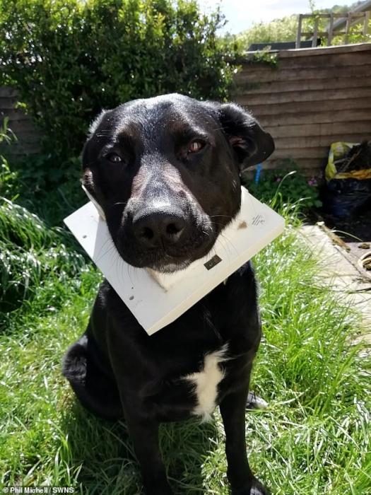 Луис, собака лабрадор, застрял в кошачьем откидном ходе после того, как со всей силы влетел в проход