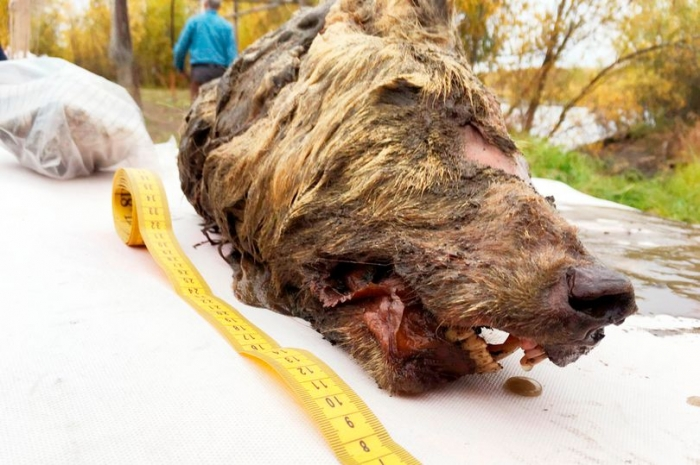 Отрубленная голова гигантского 40000-летнего волка найдена в Сибири