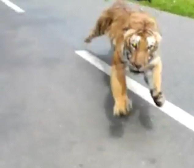Страшный момент мотоциклист избежал смерти после того, как в Индии его преследует тигр