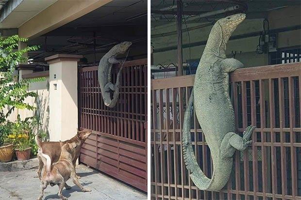 Ящерица большого размера по прозвищу Годзила старается забраться в человеческое жилище. Собаки волнуются