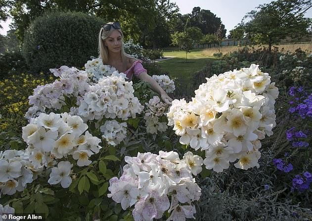 Розы вырастают в два раза больше после того, как эксперты открыли секрет опрыскивать их чесноком