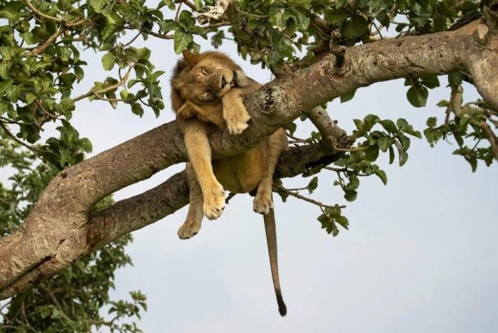 Невероятное фото показывает полусонного льва, болтающегося на ветвях туранга в Африке