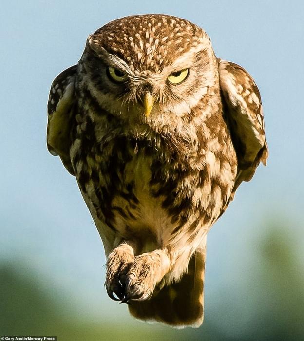 Прекрасно сделанное фото злой птицы, когда она с таким выражением летит прямо на камеру