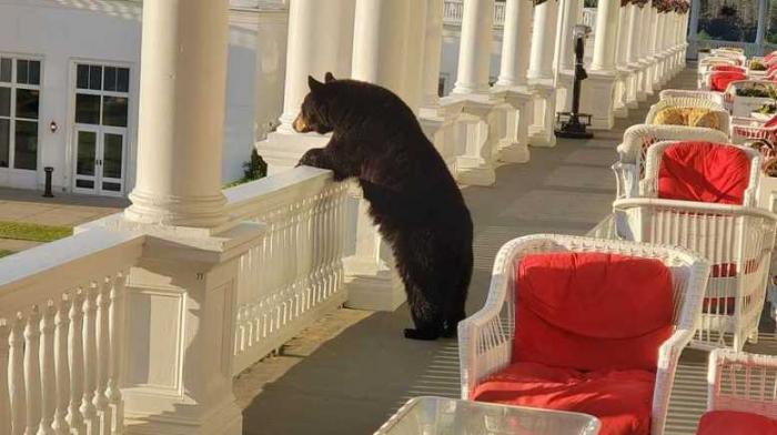 Медведь наблюдает восход солнца из отеля Veranda в белых горах Нью-Гемпшира