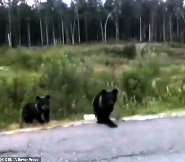 Не кормите медведей! Русский парень останавил свою машину рядом с медвежатами, но быстро получил урок