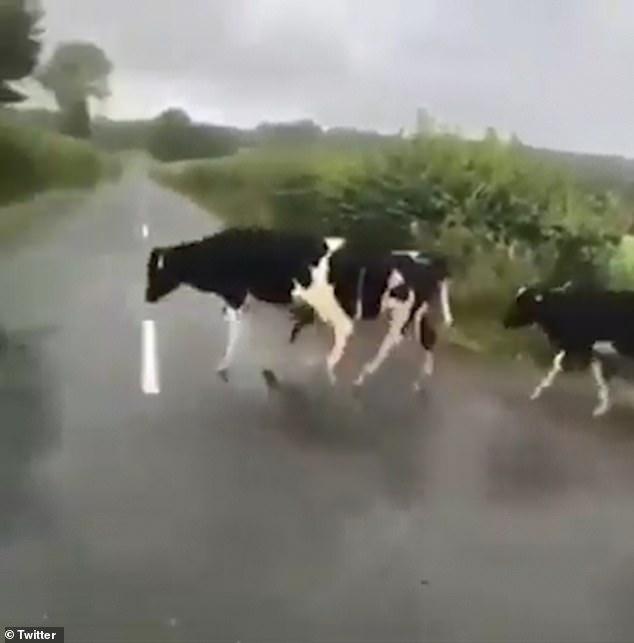 Очень смешно. Стадо коров прыгает через белую линию посреди дороги, когда они переходят на новое поле