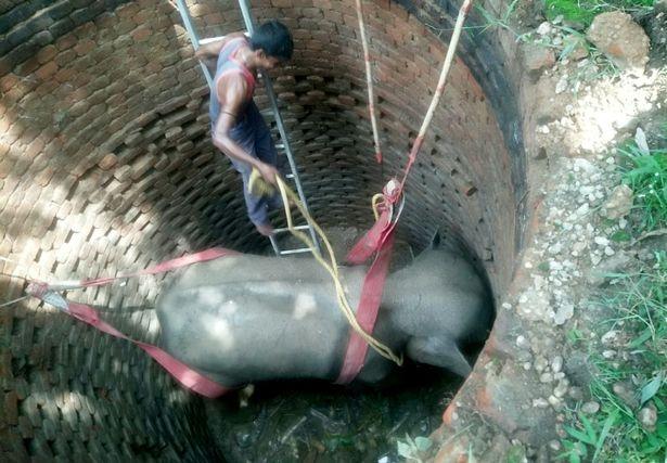 Слона спасли со дна 6-метрового колодца